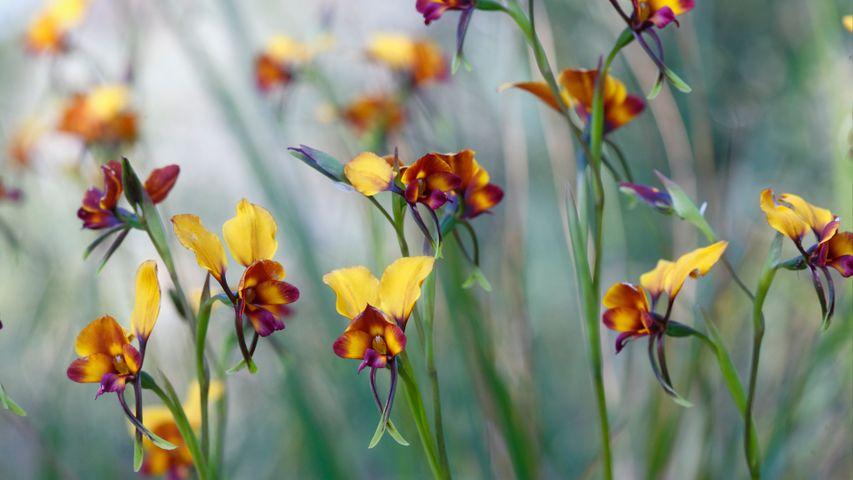 Pansy orchid (diuris magnifica) flowers in Kings Park, Perth