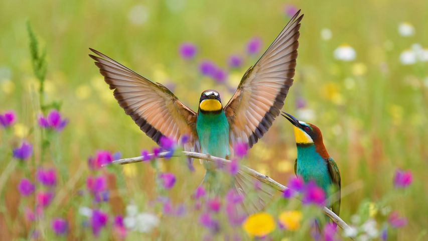 European bee-eaters in the Extremadura region of Spain