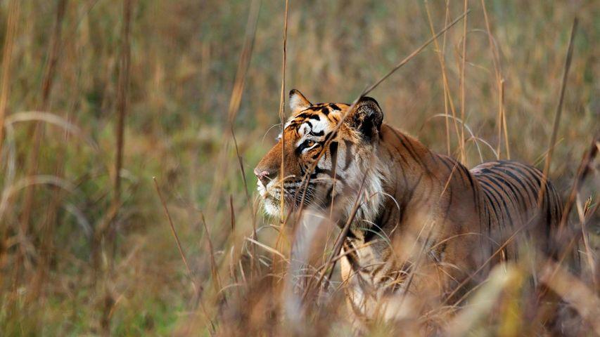 Bengal tiger watching deer in Bandhavgarh Tiger Reserve, Madhya Pradesh
