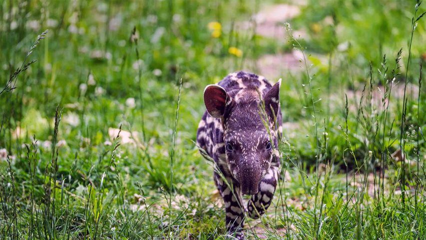South American tapir calf trots through the grass
