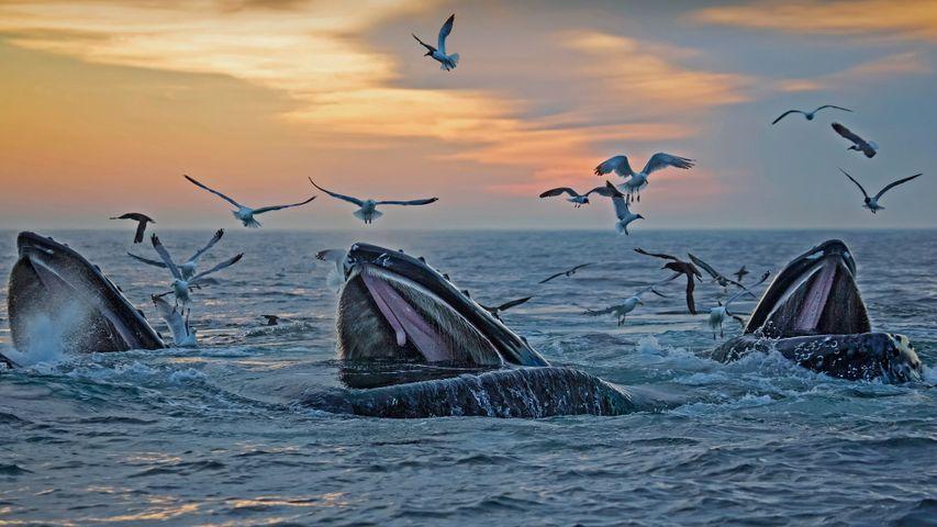 Humpback whales, Massachusetts, USA