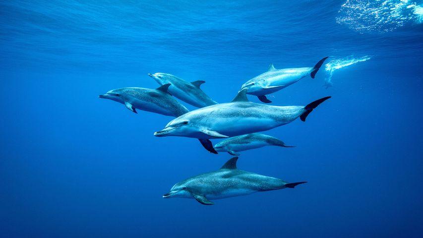 Delfines pintados del Atlántico nadando en aguas de Tenerife, Islas Canarias