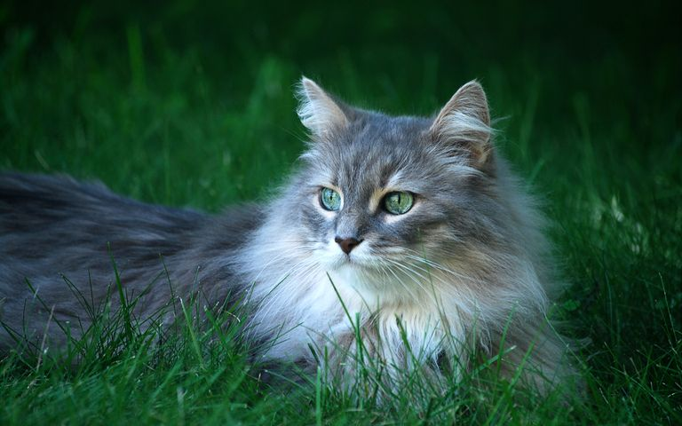 grass outdoor cat laying animal mammal domestic cat carnivore