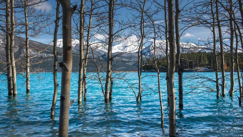 Tree trunks in Abraham Lake, Alberta