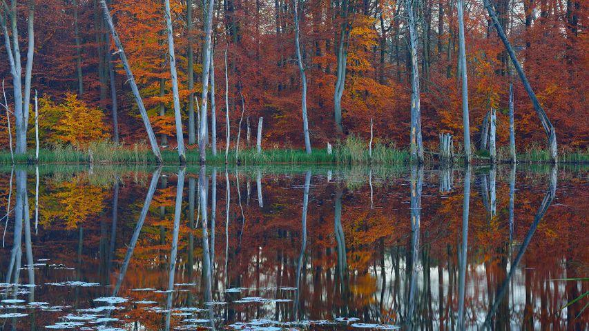 Rotbuchen und Kiefern spiegeln sich im Schweingartensee bei Carpin, Mecklenburg-Vorpommern