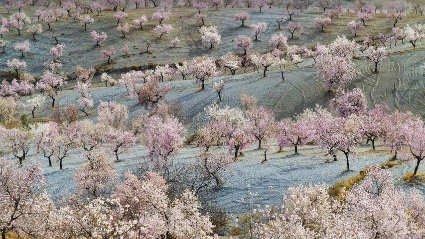 Almendros en flor en los campos de Almería, Andalucía