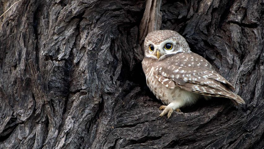 Spotted Owlet in Bharatpur, India