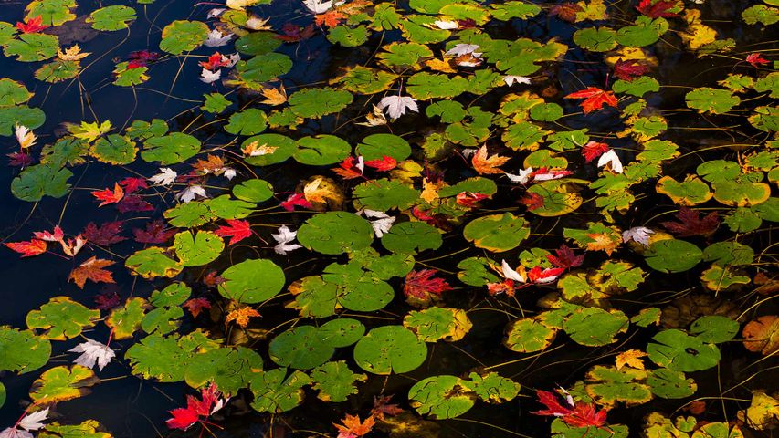 Lily pads and floating autumn coloured leaves, Waterloo, Que.