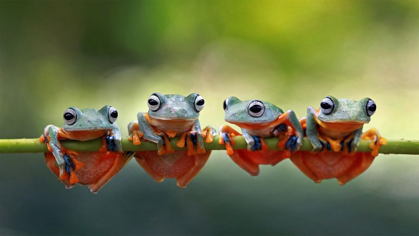 Four Javan tree frogs sitting together on a stalk in Indonesia