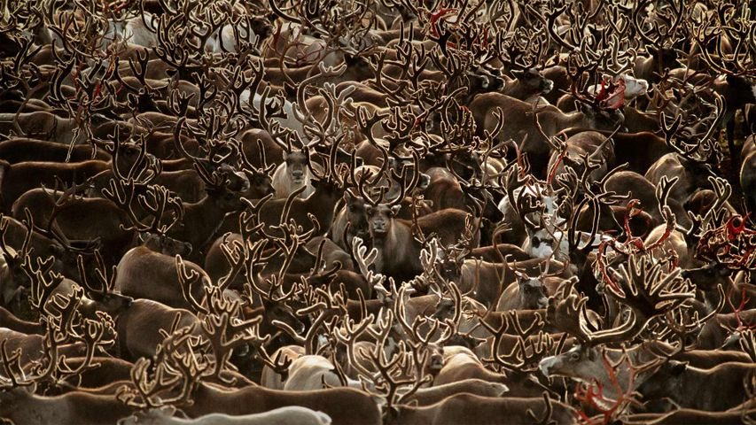 Karibu-Herde im Kobuk-Valley-Nationalpark, Alaska, USA