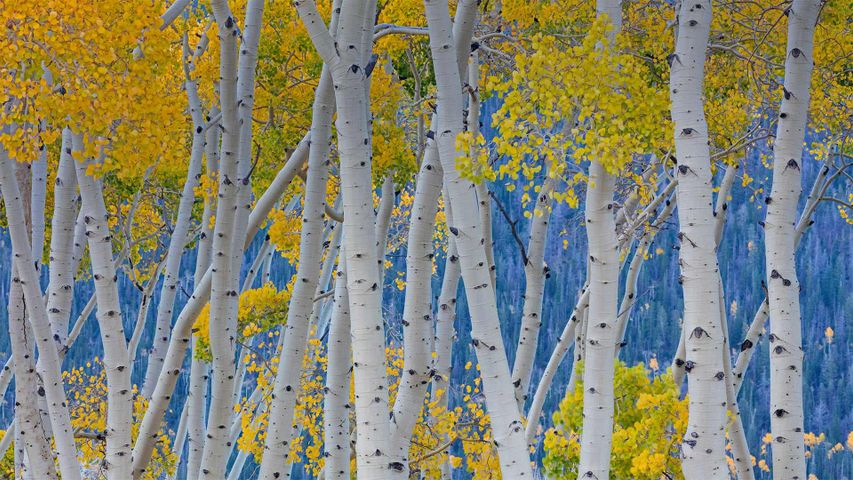The Pando quaking aspen in Fishlake National Forest, Utah