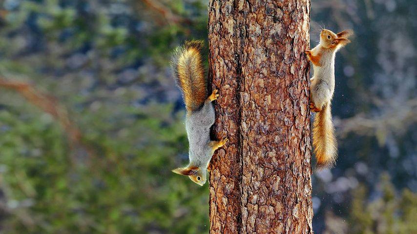 Eichhörnchen, Finnland