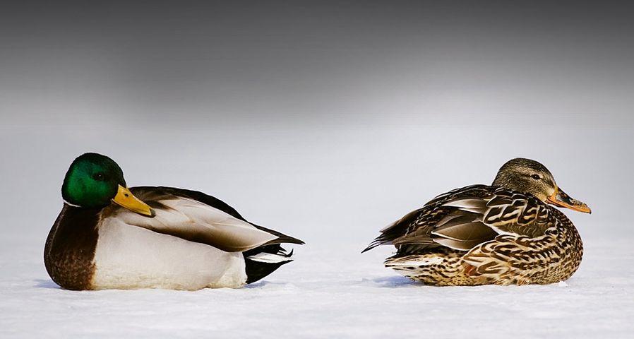 Two mallard on a snowy landscape at Lake Kussharo, Hokkaido, Japan