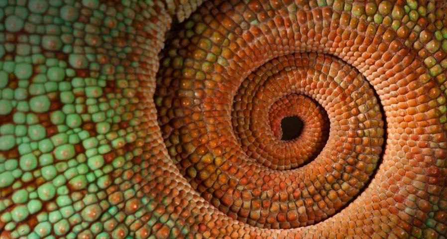 Panther chameleon tail, Madagascar