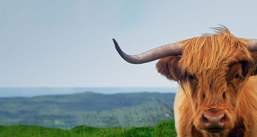 Highland cow on the Isle of Skye in Scotland, United Kingdom
