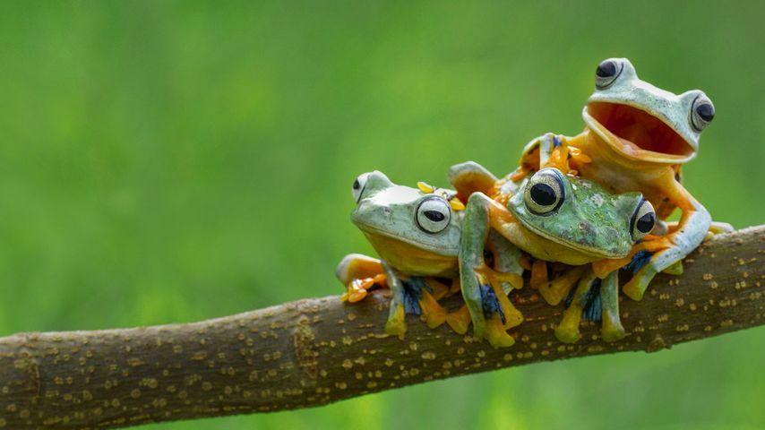 Black-webbed tree frogs