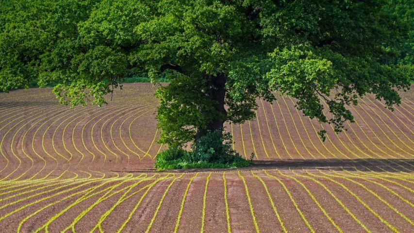 Stieleiche in einem Feld, Monmouthshire, Wales, Großbritannien