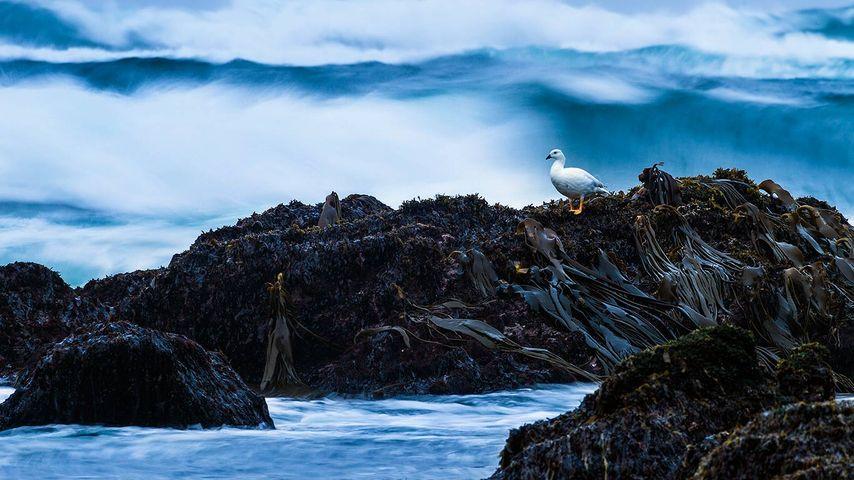 Kelp goose on Cole-Cole Beach, Chiloé National Park, Chiloé Island, Chile