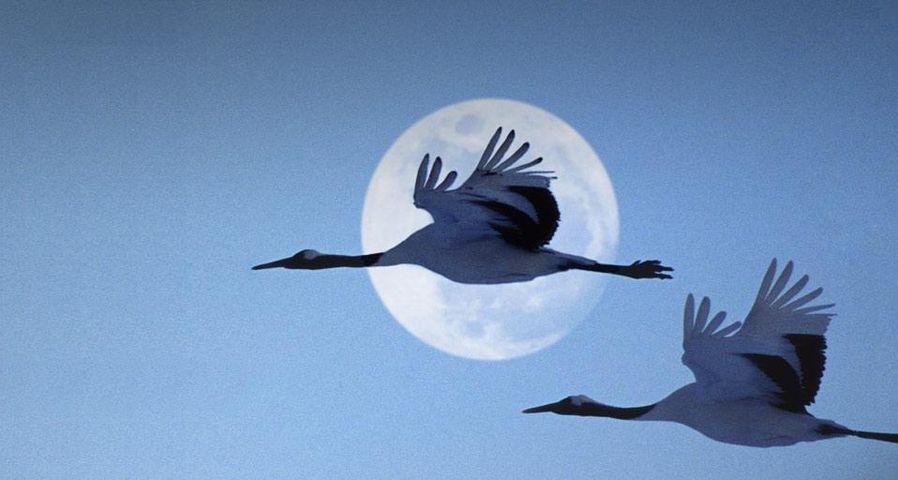 傍晚时分,飞过夜空的两只鹤