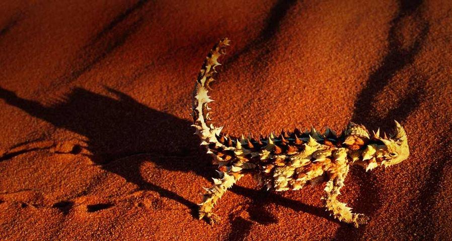 澳大利亚,行走在红色沙丘上的魔鬼蜥蜴