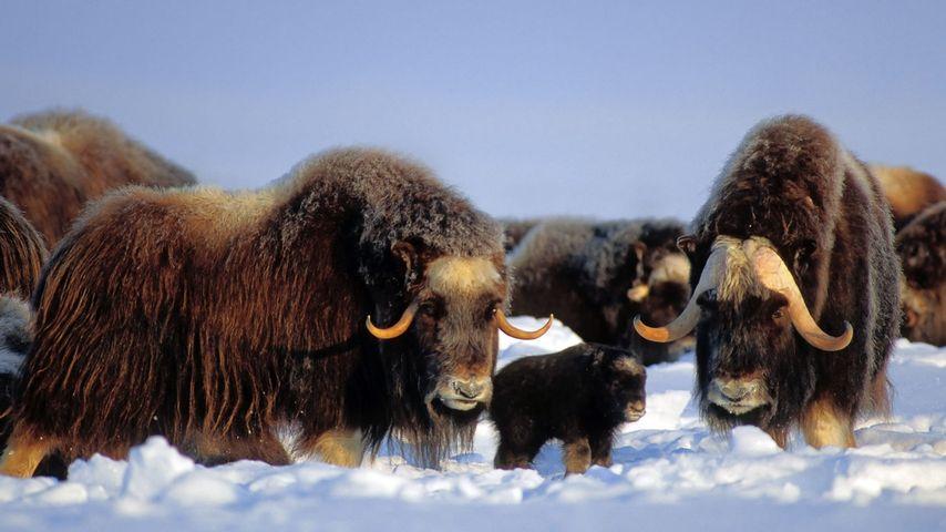 Muskox in the Brooks Range, Alaska