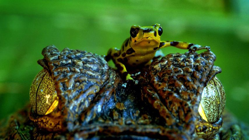 Poison arrow frog on Spectacled caiman