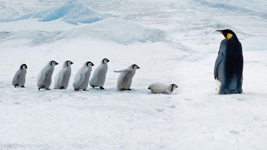 Manchots empereurs adulte et poussins, île Snow Hill, Antarctique