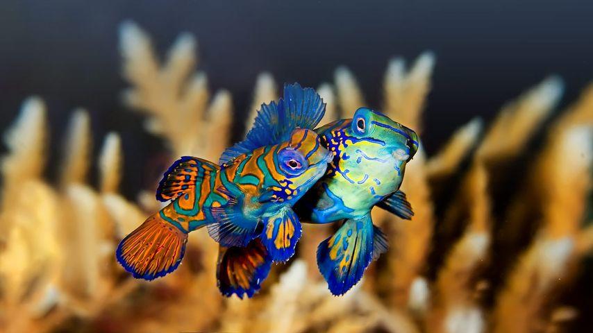 印尼布纳肯,一对亲密的麒麟鱼(鳜鱼)