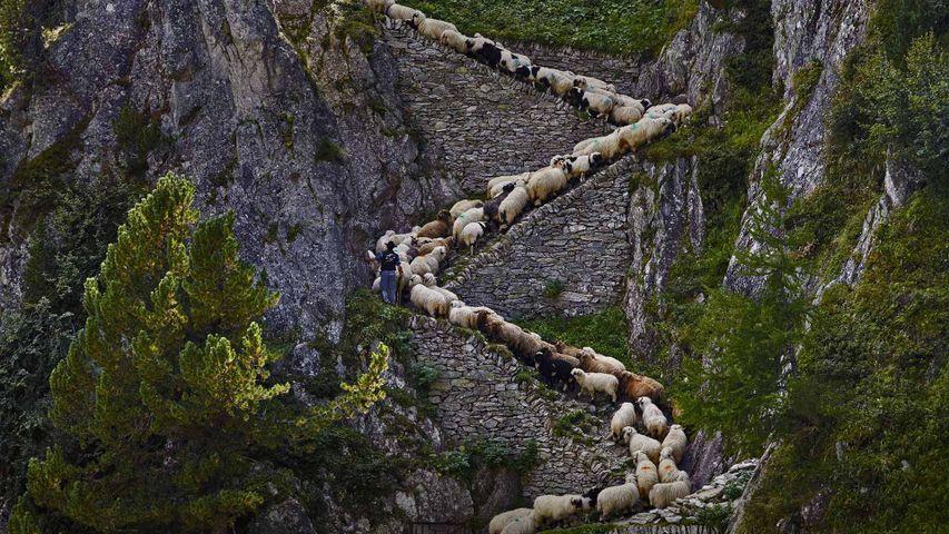 Valais Blacknose sheep in Valais, Switzerland