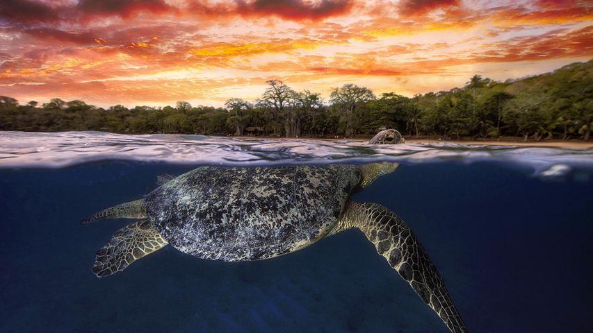 黄昏时浮出水面的绿海龟,印度洋马约特