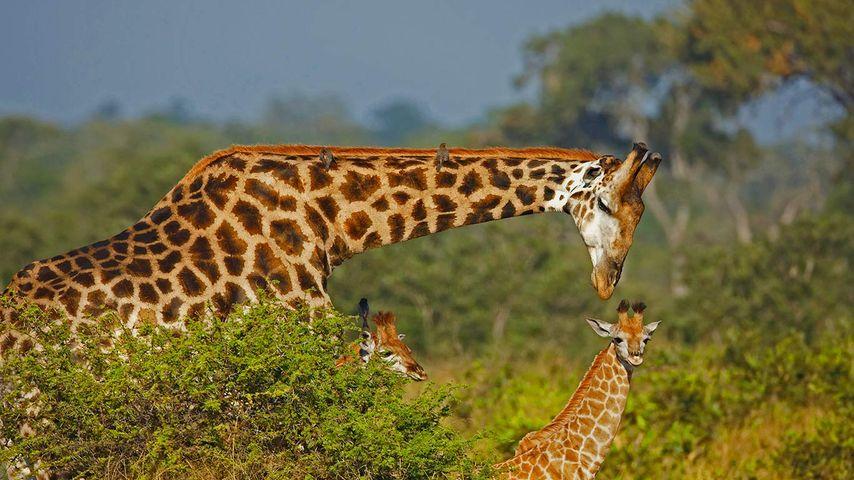 长颈鹿爸爸和它的孩子们