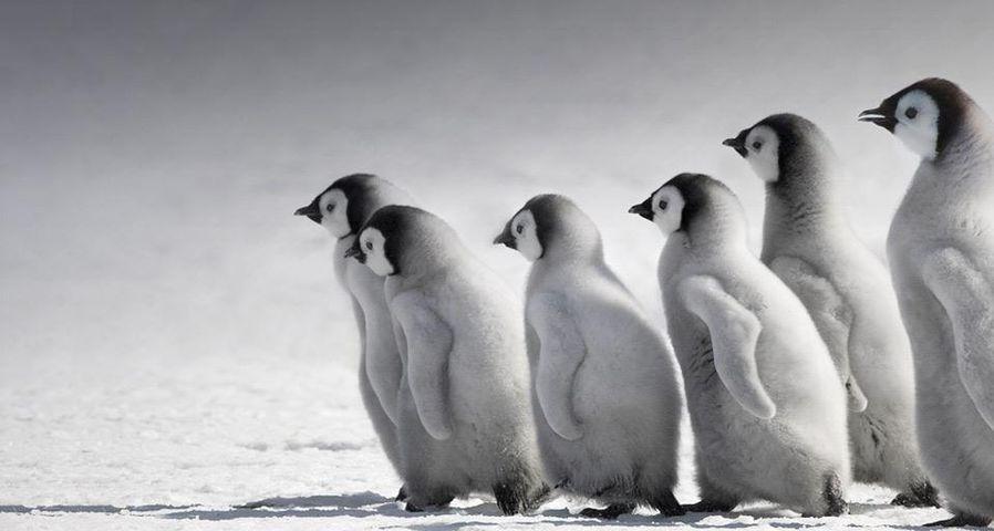 南极洲雪山岛上的帝企鹅幼仔