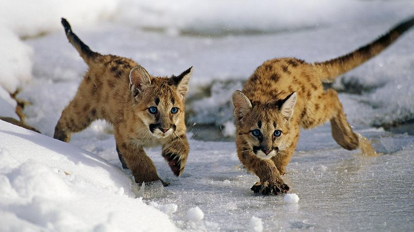 Mountain lion cubs in Uinta National Forest, Utah, United States