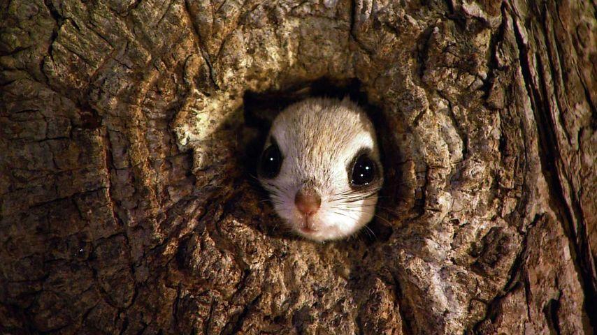Japanese dwarf flying squirrel in Rishiri-Rebun-Sarobetsu National Park, Japan