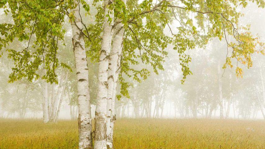 Birch trees in the fog Thunder Bay, Ontario, Canada