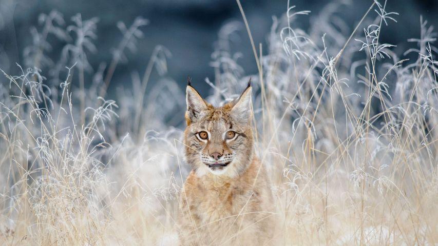 Eurasian lynx in the Bohemian-Moravian Highlands of the Czech Republic