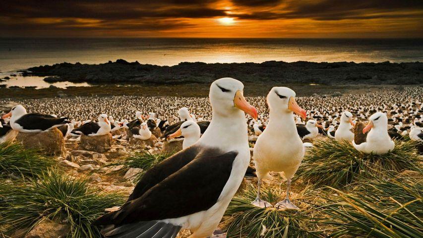 Black-browed albatrosses return to the Falkland Islands