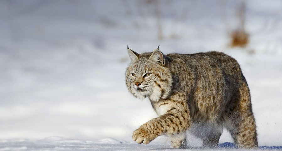 「雪の中のボブキャット」アメリカ, モンタナ州