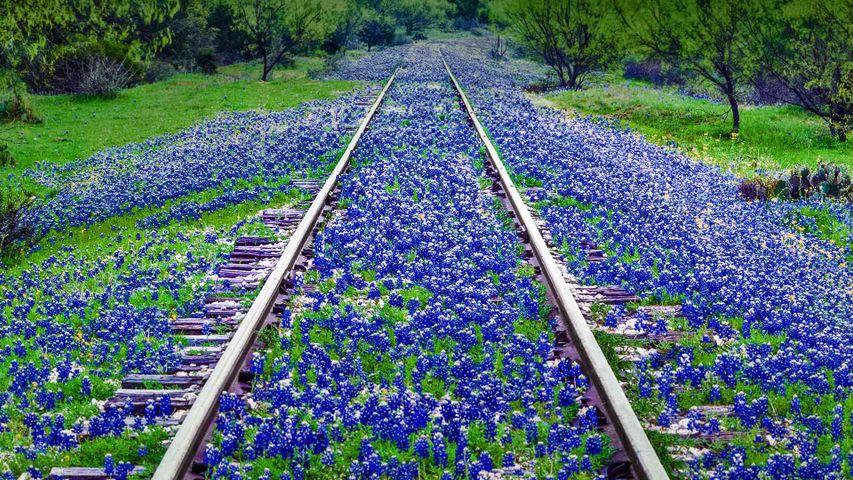 大草原附近的矢车菊野花,美国德克萨斯州