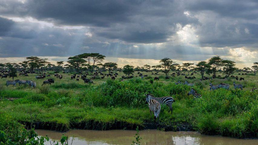 Cebras y ñúes en el parque nacional del Serengueti, Tanzania