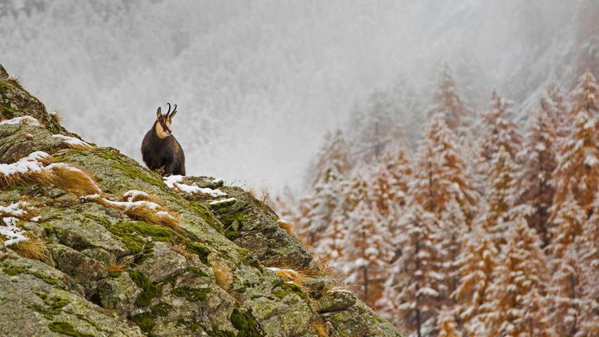Alpine chamois in Gran Paradiso National Park, Italy