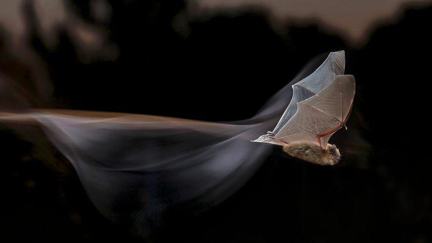 Common pipistrelle bat for Bat Appreciation Month