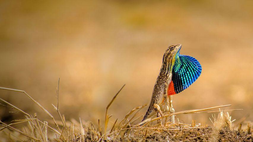 Fan-throated lizard in the Ghoradeshwar Hills, Pune, Maharashtra, India