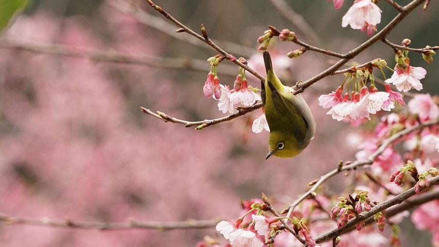 Zostérops du Japon dans un cerisier en fleur