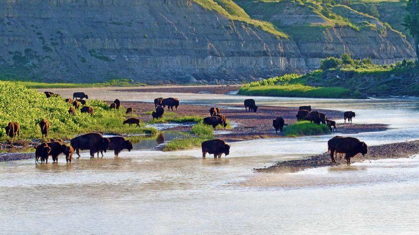 American bison on the Little Missouri River in Theodore Roosevelt National Park, North Dakota