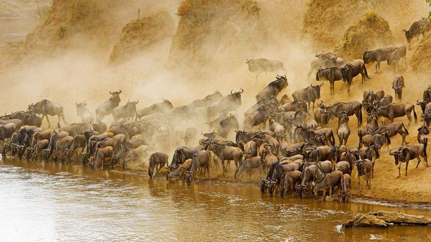 Blue wildebeest herd at the Mara River in Masai Mara National Reserve, Kenya