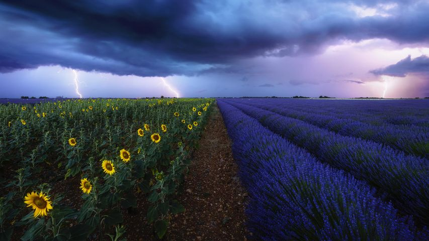 Un champ de lavande et un champs de tournesols sous la foudre, Provence, France