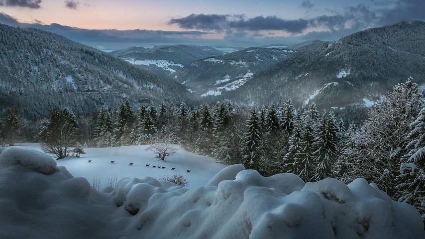 Rehe in der Abenddämmerung nahe Herrischried, Schwarzwald, Baden-Württemberg, Deutschland