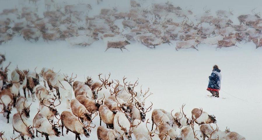 俄罗斯的驯鹿群