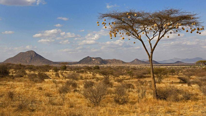 Nids de tisserins baya suspendus à un acacia, Réserve nationale de Samburu, Kenya